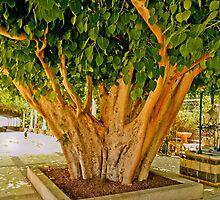 Kiwi tree trunk by Benjamin Gelman