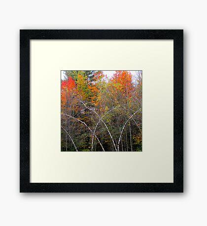 Bending Birches Framed Print