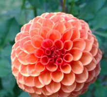 .Brilliant Dahlia. Sticker
