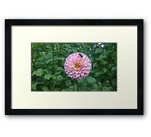 .Dahlia With Bee. Framed Print