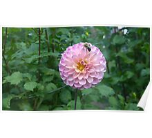 .Dahlia With Bee. Poster