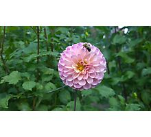 .Dahlia With Bee. Photographic Print