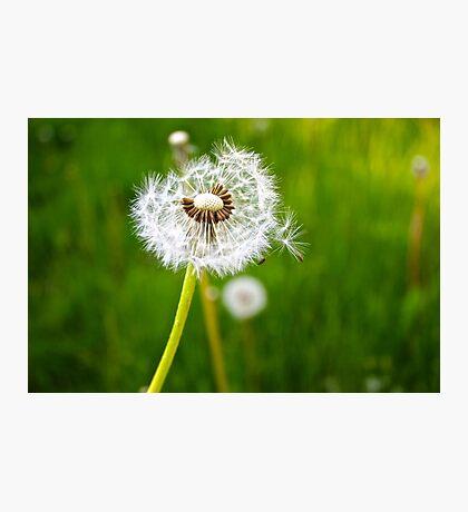 The dandelion Photographic Print