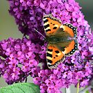 Buddleia Butterfly by Lisa Kent