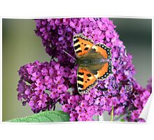 Buddleia Butterfly Poster