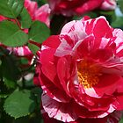 The Rose Garden by jewelskings