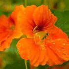Garden Nasturtium by Lynn Gedeon