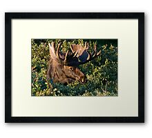 Grazing Moose Framed Print