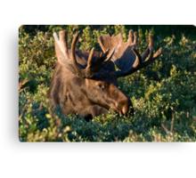 Grazing Moose Canvas Print