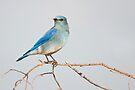 Mountain Bluebird by Eivor Kuchta