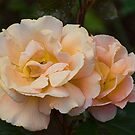 A Just Slightly Ragged Peach Coloured Rose by Gerda Grice