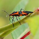 Milkweed Bug by David Lamb