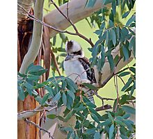 KINGFISHER ~ Laughing Kookaburra by David Irwin Photographic Print