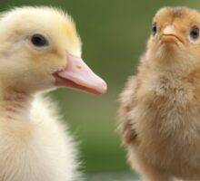 confused baby chicks Sticker