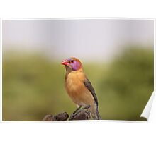 Waxbill - Colorful Birds from Africa Poster