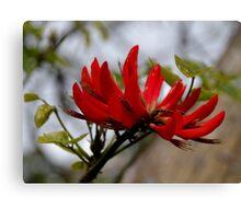 Coral Tree Blossom Canvas Print