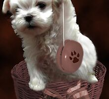 MALTESE PUPPY-JUST PLAYIN WITH MY YO-YO - I WONDER IS ANYBODY WATCHING LOL /PICTURE/CARD by ╰⊰✿ℒᵒᶹᵉ Bonita✿⊱╮ Lalonde✿⊱╮