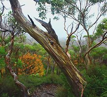 Snow Gum in Cradle Mt  LakeSt Clair National Park ,Tasmania,Australia by phillip wise