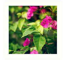 Bougainvillea flowers in a garden Art Print
