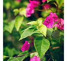 Bougainvillea flowers in a garden Photographic Print