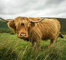 Hairy Coo  by Rob Hawkins