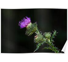 Purple prickly carduus Poster