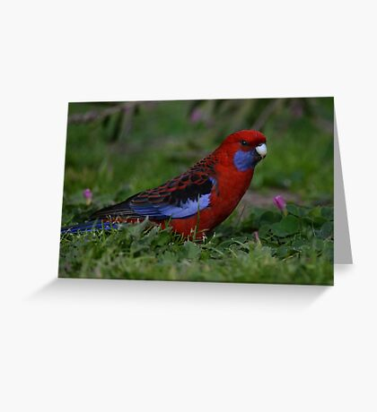 Crimson Rosella - Platycercus elegans Greeting Card