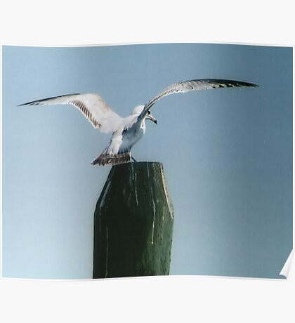 Perching Seagull Poster