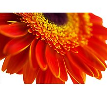 Orange flower background with close-up gerbera Photographic Print