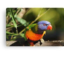 Australian Rainbow Lorikeet Canvas Print