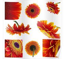Set of orange gerbera flowers Poster
