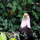 Bald Eagle    ^ by ctheworld