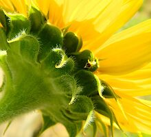 Sunflower    ^ by ctheworld
