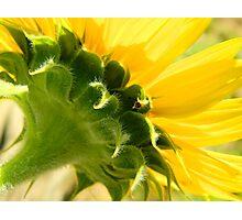 Sunflower    ^ Photographic Print