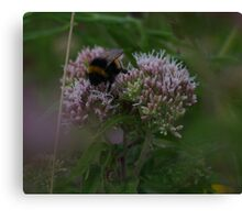 Bee on Hemp Agrimony Flowers at Gwithian Nature Reserve in Cornwall. Canvas Print