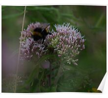 Bee on Hemp Agrimony Flowers at Gwithian Nature Reserve in Cornwall. Poster