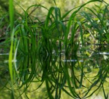 Grass Reflecting in the Water Sticker