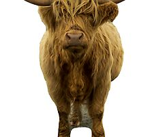 Saggy Highland Cow II by Alius Imago