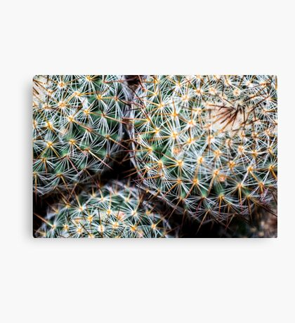 Mexican Round Cactus Canvas Print