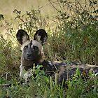 Wild Dog by Karine Radcliffe
