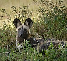Wild Dog by Karine Radcliffe