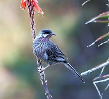Red Wattle Bird 3 by mncphotography