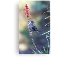 Red Wattle Bird 3 Canvas Print