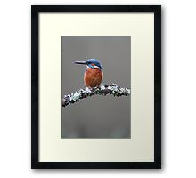 Kingfisher on Lichen Branch Framed Print