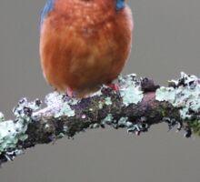 Kingfisher on Lichen Branch Sticker