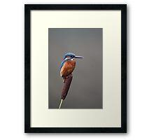 Kingfisher on a Bullrush Reed Framed Print
