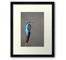 Kingfisher Perched on Riverside Reed Framed Print