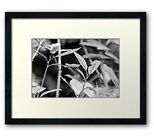 Speckle wood butterfly Framed Print