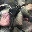 Hydrangeas, dried by knititude
