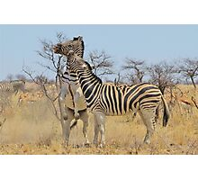 Zebra Fight - African Stallions Photographic Print